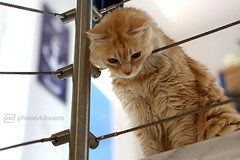 chilli 7/24/2016 (photos4dreams) Tags: p4d photos4dreamz photos4dreams photos chilli photo pics misschillipepper mainecoon female cat ginger red rot fluffy katze