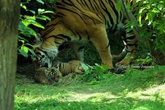 Proud mum (tommyajohansson) Tags: london londonzoo zsl zoologicalsocietyoflondon regentspark zoo djurpark tiergarten tommyajohansson geotagged tiger tigre sumatrantiger