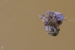 Larinioides cornutus (Eugenio_81) Tags: araneidae larinioidescornutus larinioides furrowspider 105mm sigma animal animals arachnida bug bugs caccia hunting macro meal pasto predazione ragno spider spiders web ragnatela