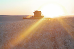 Harvest at Sundown (breann.fischer) Tags: combine newholland harvest wheat northdakota sunset farmlife greatplains nd2016contest landscape