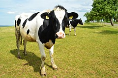 Holstein-Rind (Tobi NDH) Tags: kuh rind vieh cow cattle holstein tier animal landwirtschaft countryside holsteinfrieser holsteinfriesian nature natur holsteinfriesians holtnskskot vacaholstein vacafrisona holsteinfrz frisona holsztynofryzyjska   siyahalaca holsteinfrsia