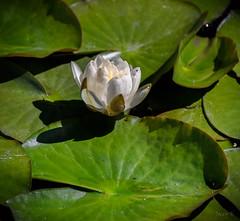 Lily Leaves (Jocey K) Tags: newzealand bankspeninsula southisland motukarara irisgarden pond lilypond flowers waterlily