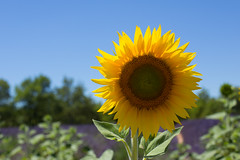 sunflower in provence (SanctyYumi) Tags: provence france lavender sunflower flowers nature purple