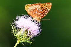 great spangled fritillary at Cardinal Marsh IA 854A8936 (lreis_naturalist) Tags: great spangled fritillary butterfly nectaring bull thistle flower cardinal marsh winneshiek county iowa larry reis