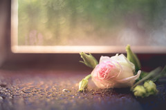 Lisianthus (RoCafe) Tags: pentacon pentacon50mmf18 stilllife flower lisianthus rain bokeh light nikond600 soft pastels pink