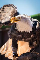 Hawk (Herrti) Tags: bird sony weiskopfseeadler hawk adler alpha77ii
