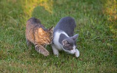 kittens (16) (Vlado Fereni) Tags: kittens kitty cats catsdogs animals animalplanet nikond600 sigma150500563