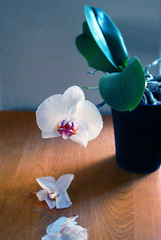 One last bow (quepasaboy) Tags: goodbye spring orchid orchids flower flowers leaves plant gardening blossom adios thankyou beautiful phalaenopsis phalaenopsisorchid homegrown imadethis