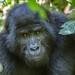 + Mountain gorilla, Bwindi Impenetrable Forest National Park, Uganda