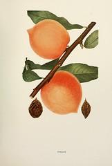 n410_w1150 (BioDivLibrary) Tags: andrewjackson 18151852 downingaj fruitculture newyorkstate portraits prunuspersica rosaceae newyorkbotanicalgardenluesthertmertzlibrary bhl:page=6593861 dc:identifier=httpbiodiversitylibraryorgpage6593861 pallaspeach