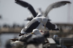 20160923-LRC24460.jpg (ellarsee) Tags: seacliffbeach aptos critter fauna seagull flickr birds california unitedstates us