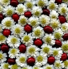 57576.02 Tanacetum parthenium 'Plenum', Actaea rubra (horticultural art) Tags: horticulturalart tanacetumpartheniumplenum tanacetum actaearubra actaea flowers fruit seed whiteandred pattern