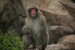 IMG_2325 (downatthezoo) Tags: chicago japanesemacaque lincolnparkzoo