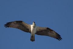 Osprey (J.B. Churchill) Tags: baysidepoint birds hawkseaglesfalcons maryland ospr osprey places raptors taxonomy worcester berlin unitedstates us