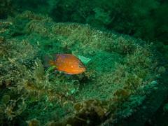 P1010824.jpg (Michael Bartosek) Tags: olympusepl3 catalinaisland olympus1442mm underwater catalina diving california pacificocean