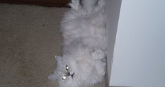 How to celebrate fall.persian style via http://ift.tt/29KELz0 (dozhub) Tags: cat kitty kitten cute funny aww adorable cats