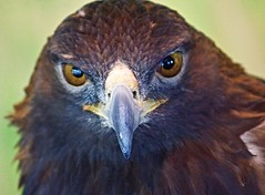 "I ""Might"" Not Eat You (Scott M. Mohn) Tags: goldeneagle eagle bird raptor eyes beak portrait closeup wild wildlife nature predator avian minnesota sonyilca77m2 animal"