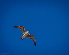 _EM15041 (fernando_garca) Tags: fernandogarcia stroglofilms anaga paisajes tenerife canarias mar naturaleza playas gaviotas pajaros fauna