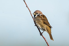 Tree sparrow (pstani) Tags: england heskethoutmarsh merseyside passermontanus southport uk bird sparrow treesparrow