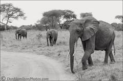 Elephant-TrioMONOF7I3925 (DonHamiltonPhotos.com) Tags: bedford camera video donhamiltonphotographyworkshops donhamiltonphotography donhamiltonphotoscom tanzania elephanr elphants witanzania wildlife