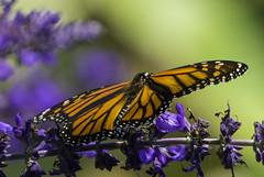 Monarch_SAF2859 (sara97) Tags: danaus plexippus butterfly flyinginsect insect missouri monarch monarchbutterfly nature outdoors photobysaraannefinke pollinator saintlouis urbanpark danausplexippus copyright2016saraannefinke