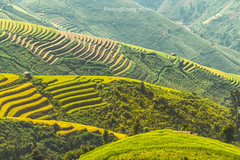 Y9523.0916.Xm Vng.Bc Yn.Sn La (hoanglongphoto) Tags: asia asian vietnam northvietnam northwestvietnam outdoor landscape scenery terraces terracedfields harvest terracedfieldsinvietnam terracedfieldsinsonla terracedfieldsximvang hill hillside caonon canoneos1dx afternoon sunlight sunnyafternoon terracedscene tybc snla bcyn xmvng phongcnh ngoitri rungbcthang lachn magt buichiu nng nngchiu ngni sni dyi vietnamscenery vietnamlandscape rungbcthangxmvng rungbcthangsnla phongcnhsnla phongcnhbcyn canonef100400mmf4556lisusmlens curve curves ngcong abstract trtng