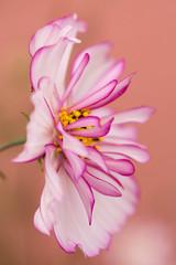 October Beauty (Gisou68Fr) Tags: cosmos jardin garden rose pink octobre automne october fall autumn canoneos650d efs60mmf28macrousm bokeh macro