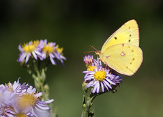 (EJMphoto) Tags: butterfly insect yellow sulphur flowers sulfur