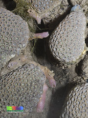 Anemone coral (Goniopora sp.) (wildsingapore) Tags: sentosa serapong cnidaria poritidae goniopora scleractinia island singapore marine coastal intertidal shore seashore marinelife nature wildlife underwater wildsingapore