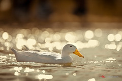 Untitled (Shameem Shah) Tags: bokeh uae dubai nature qudra birds dubaiphotography dubaiphotographer lake water ducks shutterarts