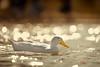 Untitled (Shameem Shah) Tags: bokeh uae dubai nature qudra birds dubaiphotography dubaiphotographer lake water ducks shutterarts