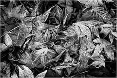 Leaf Mix (Daren N.) Tags: blackandwhite bw detail leaves contrast dark happy japanese maple autum sunday ground fallen sliders hss