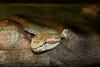 Bothriechis schlegelii (colindaca) Tags: snake venomous serpente bothriechisschlegelii velenoso