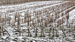 Majsstubbe i frost (Walter Johannesen) Tags: winter snow nature landscape denmark vinter skies natur overcast marker fields danmark sne jutland jylland landskab gråvejr