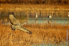 The artful crane (Osprey-Ian) Tags: