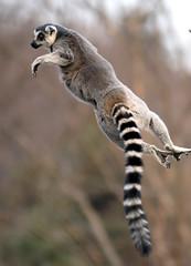 Ring tailed lemur (floridapfe) Tags: nature animal zoo jump nikon korea ring lemur tailed everland ringtailedlemur