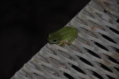 Green Tree Frog (Ranoidia caerulea) (Owen65) Tags: 2014 darwin nikond90 owen65 nt northernterritory borroloola amphibia fauna