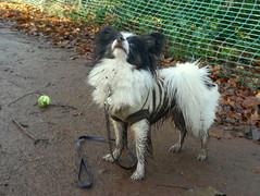 Mucky Pup 2, Newhailes, 2 Jan 15 (Castaway in Scotland) Tags: dog pet cute animal scotland adorable east papillon lothian musselburgh