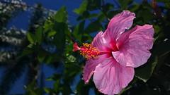hibiscus. (luiz2031) Tags: