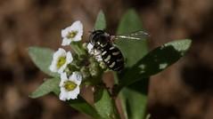 The Force Of Necessity (harefoot1066) Tags: syrphidae brassicaceae diptera sweetalyssum syrphidfly syrphinae aschiza syrphini lobulariamaritima sweetalison alyssummaritimum eupeodesvolucris birdhoverfly