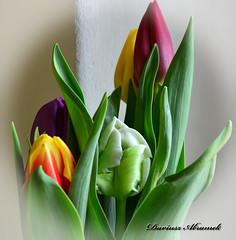 Tulips. (Dariusz A. - Poland) Tags: flowers ed nikon day womens mm nikkor vr afs dx 18105 f3556 d3200