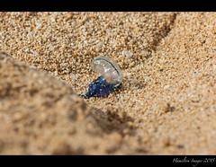 Portuguese Man Of War (Hamilton Images) Tags: beach canon hawaii sand oahu january northshore 500mm portuguesemanofwar portuguesemanowar ehukaibeachpark 2015 img0684 14xteleconverter 7dmarkii
