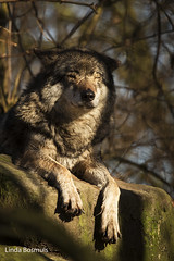 Enjoying the winter sun (lindabosmuis) Tags: canon zoo rotterdam blijdorp wolf 100400mm wolves 6d dierentuin diergaarde