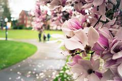 Spring at the University (Darrell Wyatt) Tags: college spring university blossoms magnolia