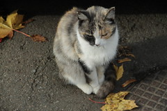 IMG_6362 (g0d4ather) Tags: road pet cats fall cat outdoor asphalt