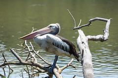 Alone (megamills) Tags: water australia pelican centralcoast avoca
