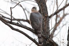 Posing Cooper's Hawk
