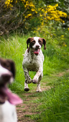 dogs-May 22, 2014-009 (henderson231280) Tags: summer dog dogs water grass scotland pointer spaniel sprointer