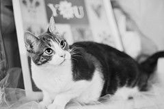 Anakin's Debut 3 in B&W (Javcon117*) Tags: bw white black up look cat soft looking kathleen silk fluffy fluff indoors domestic shorthair anakin valentinesday silky wiskers crouched hunch hunched 2015 kathleenshouse javcon117 frostphotos