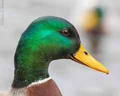 Drake Portrait (AnnMelanie) Tags: duck wildlife derbyshire pair tail feathers mallard drake quack plumage